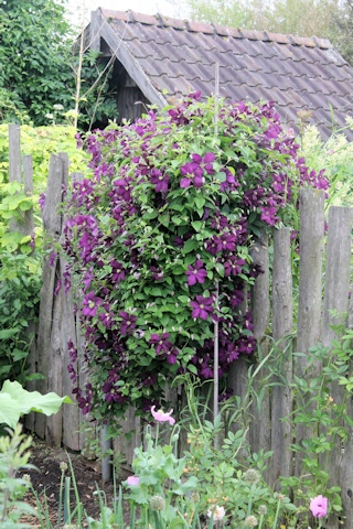 Gaissmayer Nursery Display Garden - clematis