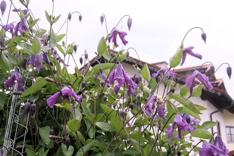 Clematis in the Hefele garden