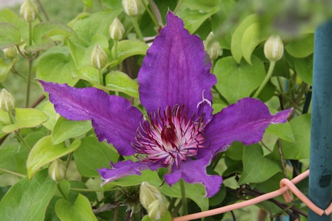 C. 'Maria Louise Jensen' in the Schmid garden