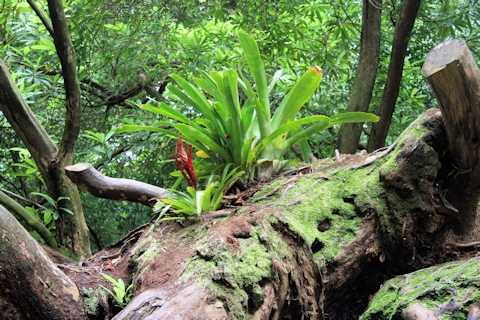 Epiphyte on an old tree trunk©Ken Woolfenden